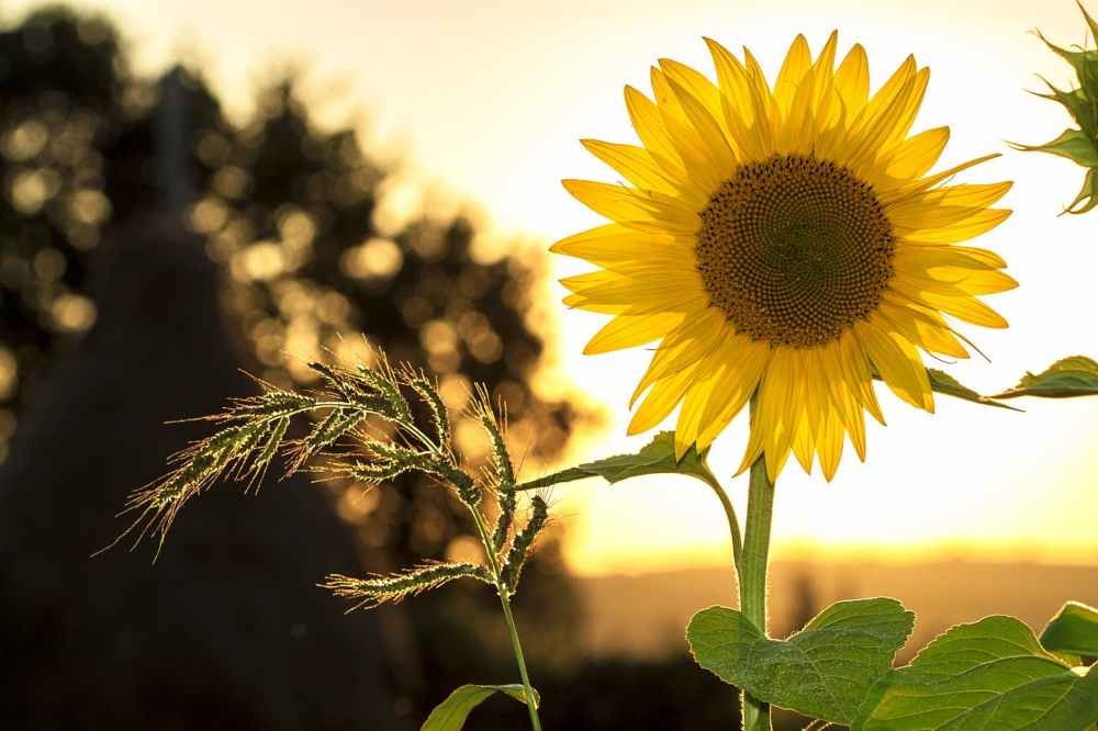 sunflower-sun-summer-yellow.jpg