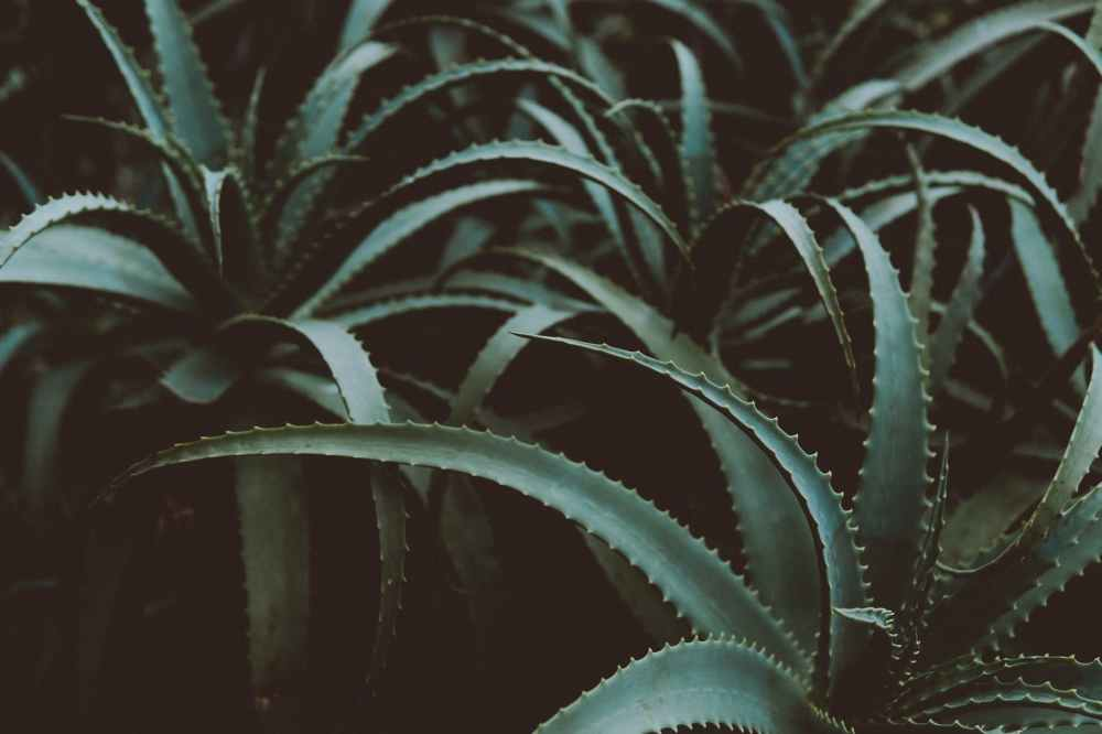 photo of green aloe vera plants